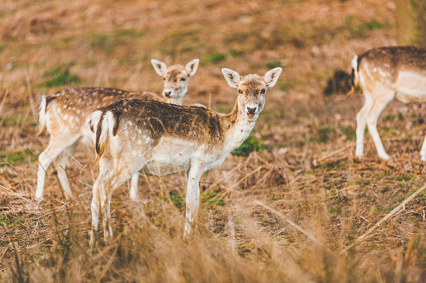 Knole Park deer,