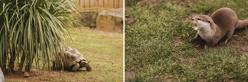 tortoise and otters at woburn safari