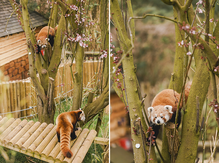 red pandas at woburn safari