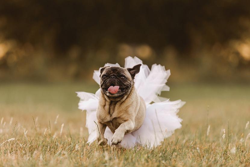 pug wedding, dog wedding photography