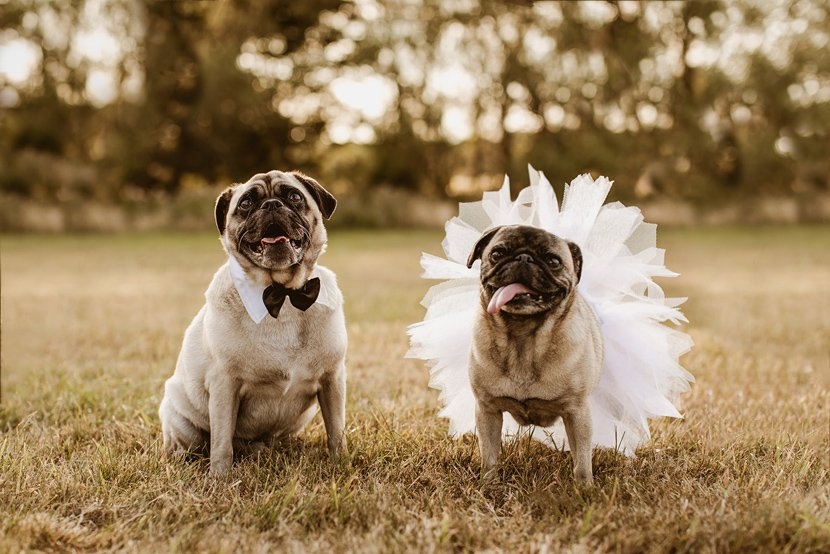 two happy smiling pugs dressed as a bride and groom wearing a bow tie and a tutu